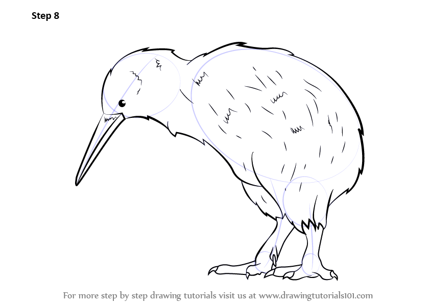 842x596 Learn How To Draw A Kiwi (Birds) Step By Step Drawing Tutorials