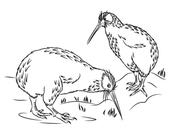600x448 Little Spotted Kiwi Bird Coloring Pages