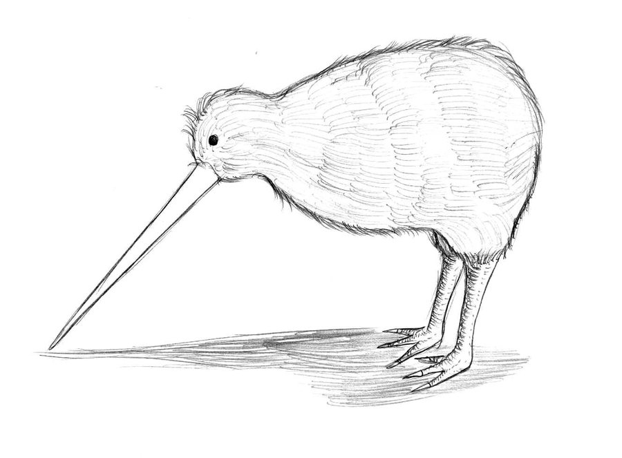 900x663 Kiwi Sketch By Greiso