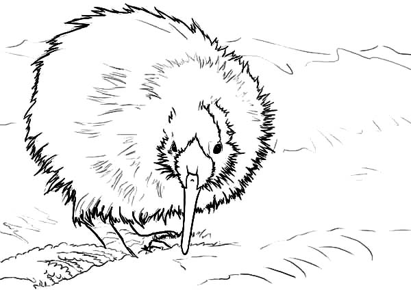 600x424 New Zealand Kiwi Bird Coloring Pages