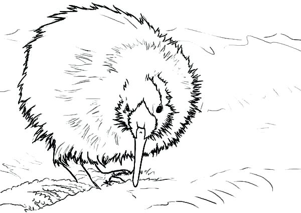 600x424 Kiwi Animal Coloring Pages A Kiwi Fruit Coloring Page Coloring