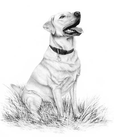 400x481 Lab Dog Drawings