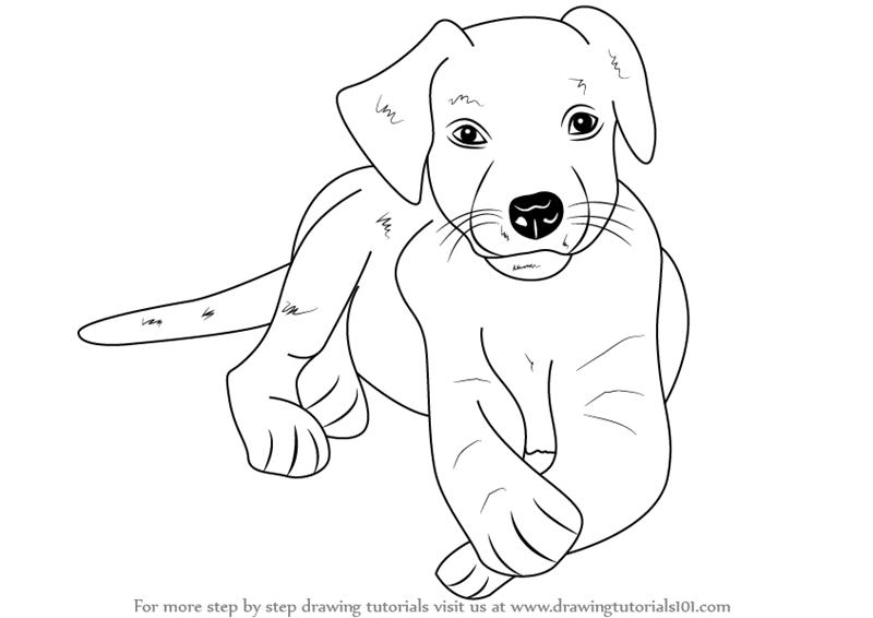 800x566 Learn How To Draw A Labrador Puppy (Farm Animals) Step By Step