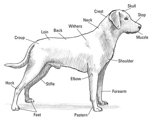 503x400 The Anatomy Of A Labrador Retriever