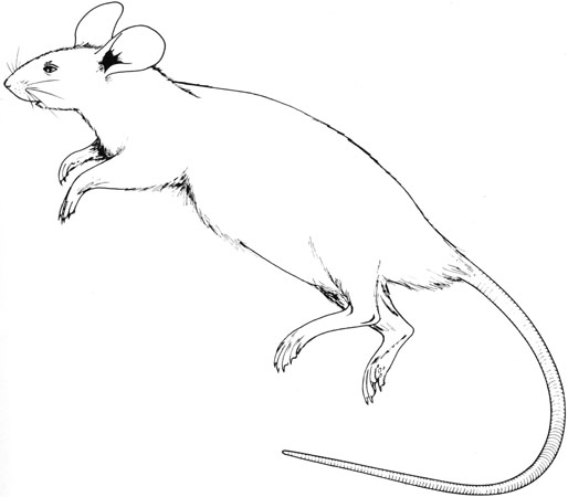514x450 The Anatomy Of The Laboratory Mouse