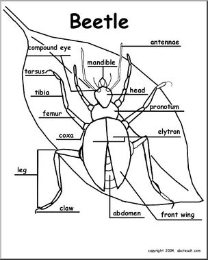 304x379 Animal Diagrams Beetle (Labeled Parts) Abcteach