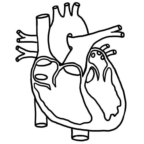 600x600 Real Heart Drawing Diagram Coloring Page Classroom