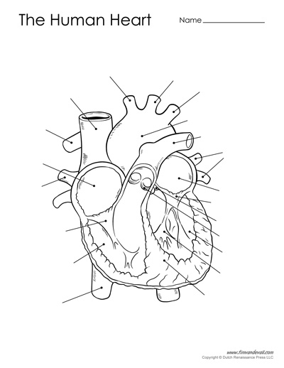 Labeled Drawing Of The Heart At Getdrawings Com