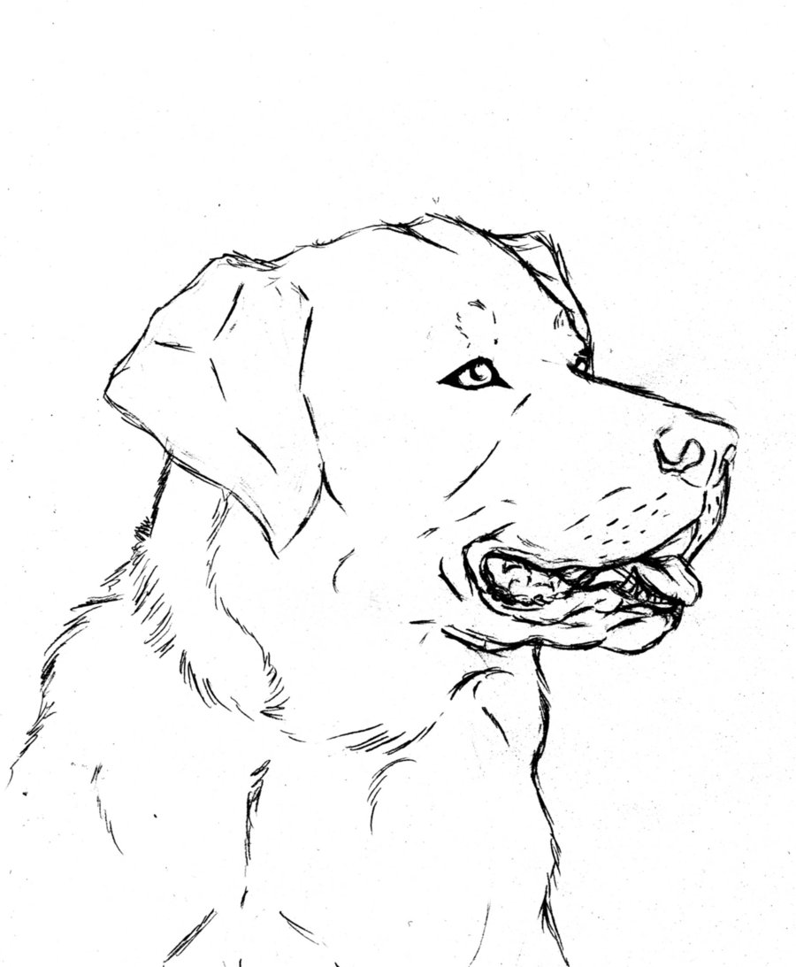 900x1093 Labrador Retriever By Bornofchocolate