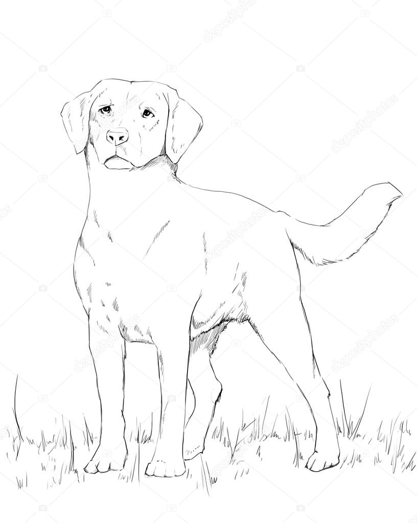 816x1023 Young Labrador Dog Standing, Pencil Drawing Stock Photo