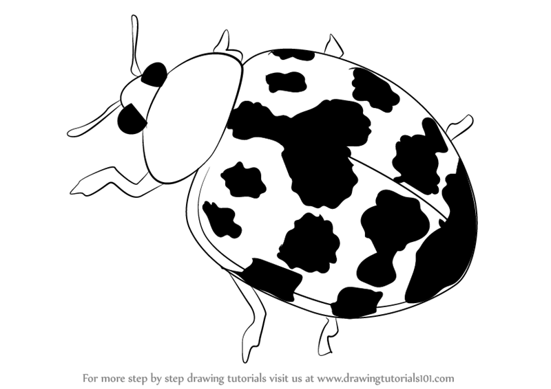 800x566 Learn How To Draw A Harlequin Ladybird (Beetles) Step By Step