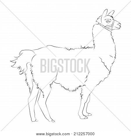Lama Drawing