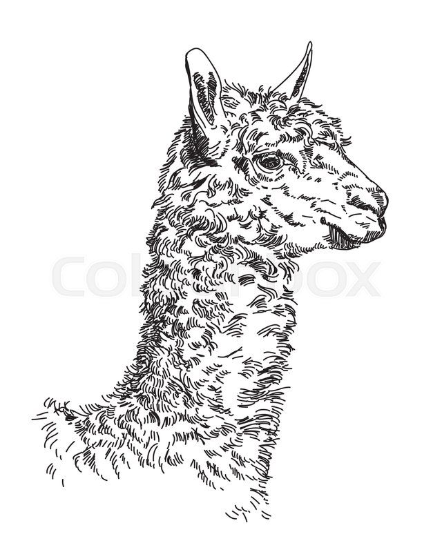 640x800 Engraving Vector Hand Drawing Illustration Of Lama Stock Vector
