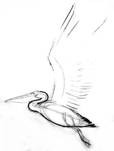 236x312 How To Draw A Pelican Step By Step Tutorial How To Draw