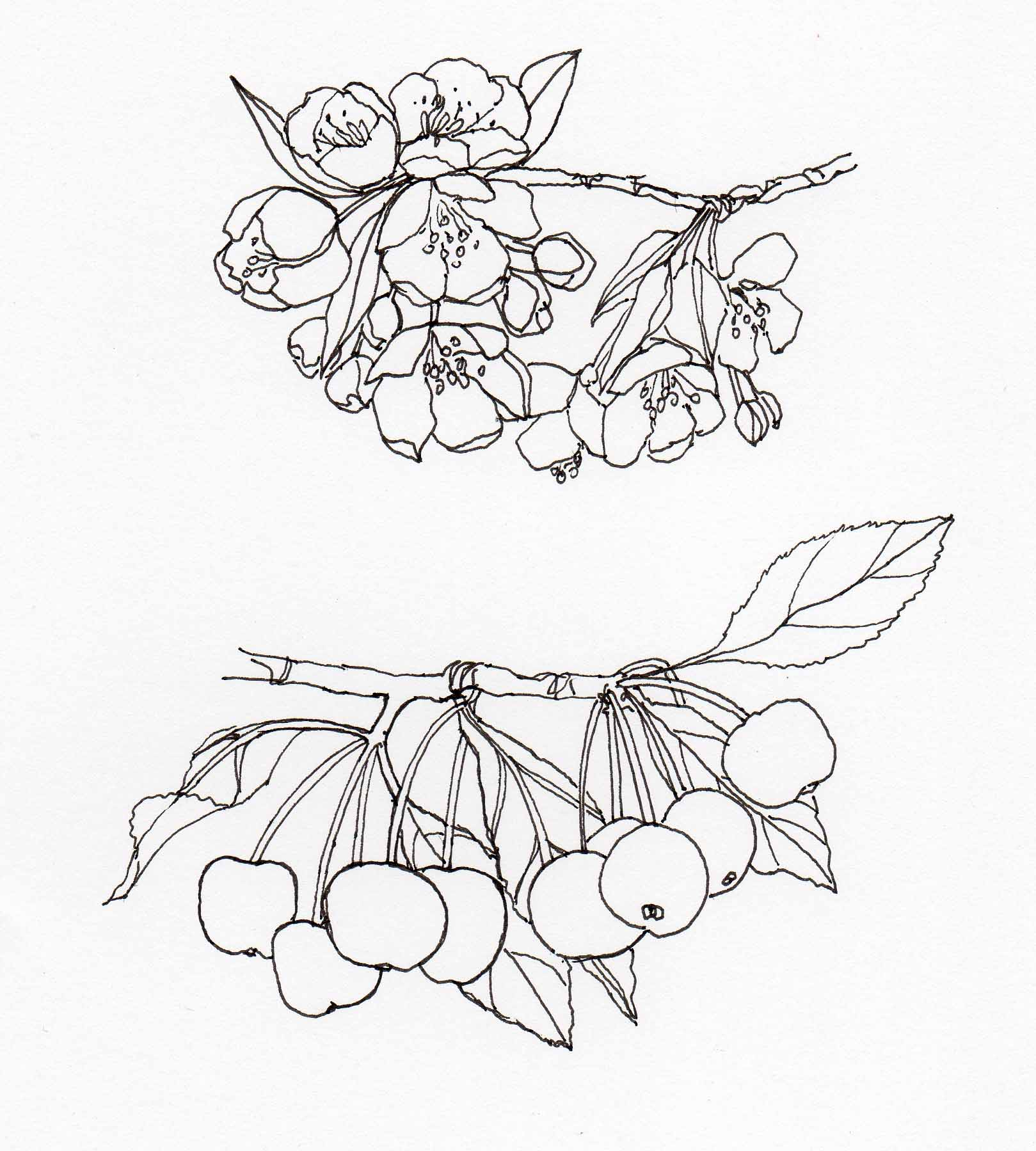 1619x1799 Drawing Malus Hupehensis2 Veitch Lamp Post Trail