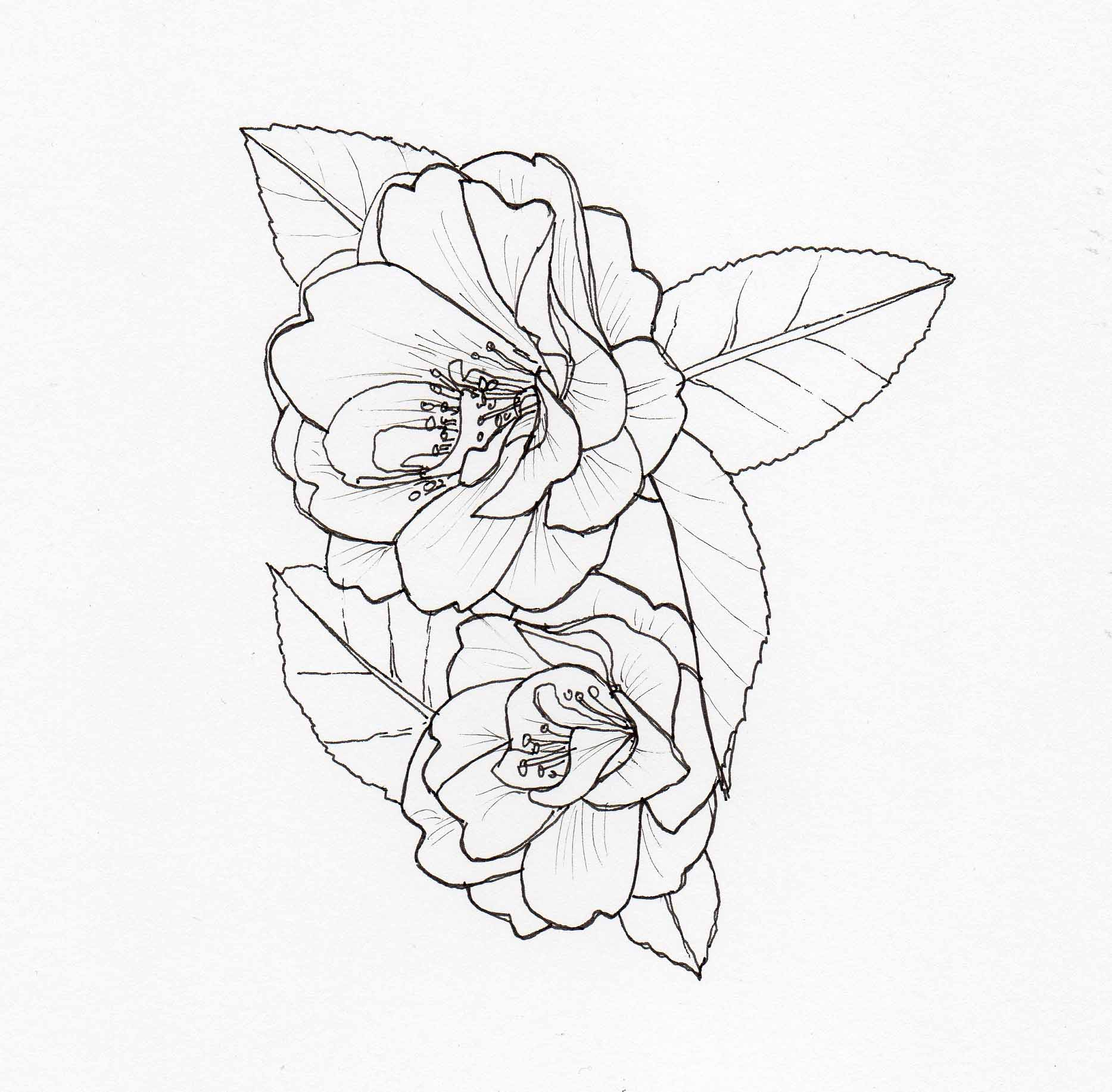 1867x1834 Drawing Camellia Mildred Veitch2 Veitch Lamp Post Trail