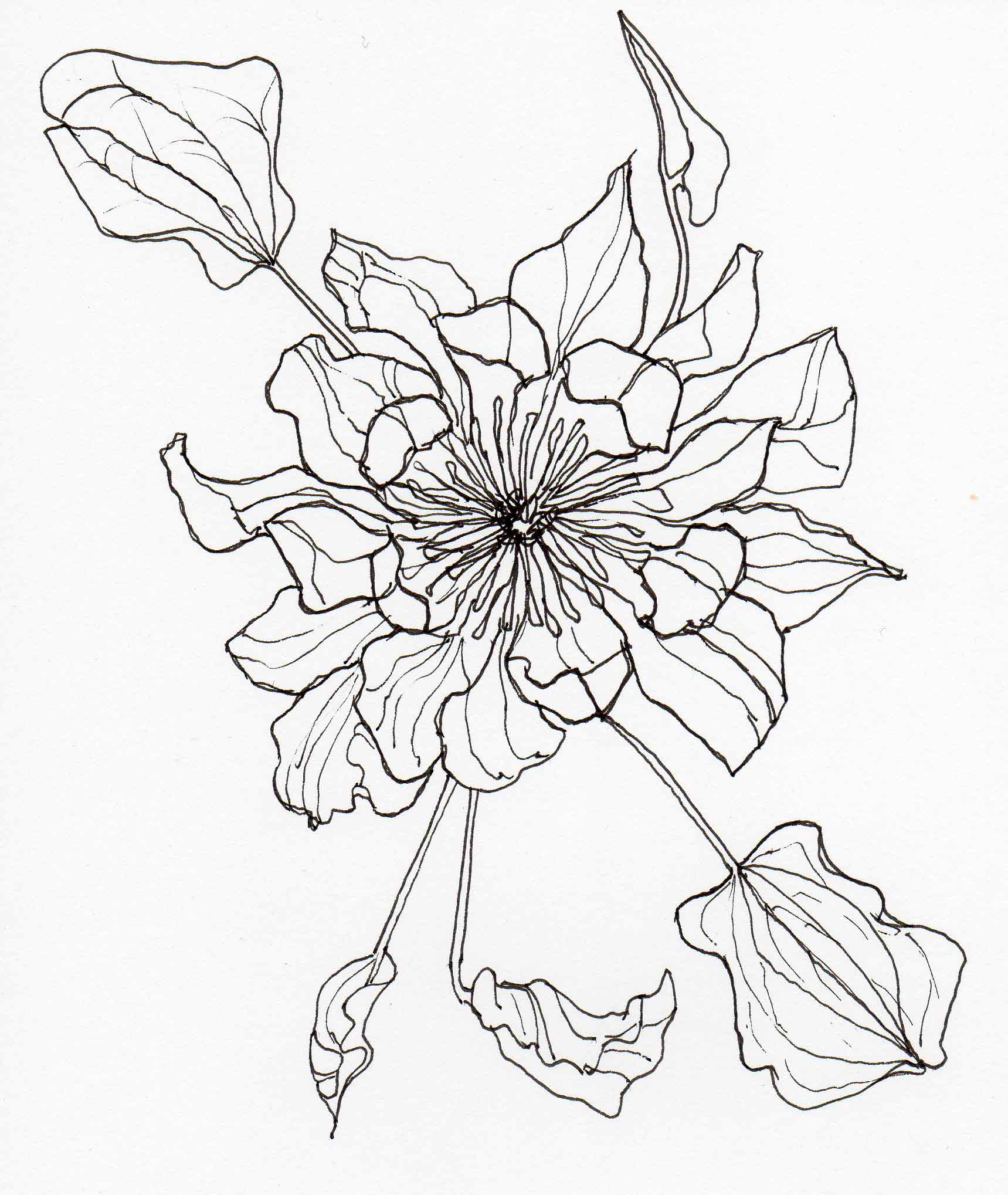 1719x2037 Drawing Clematis John Gould Veitch2 Veitch Lamp Post Trail