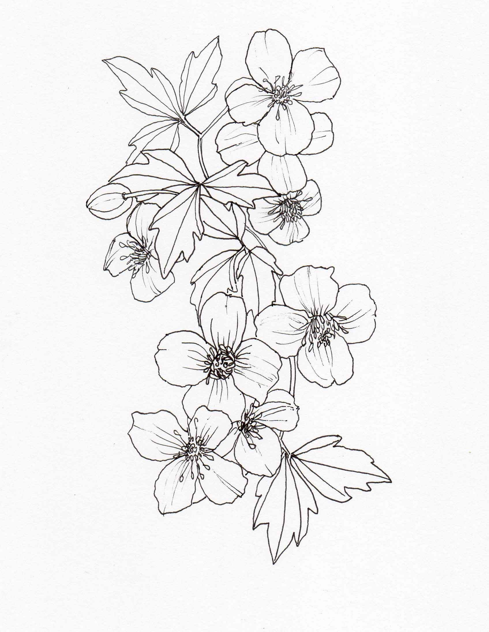 1695x2190 Drawing Clematis Montana Rubens2 Veitch Lamp Post Trail