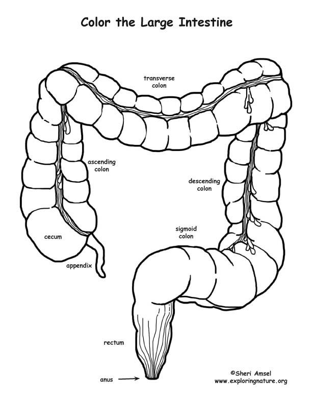 Large Intestine Drawing At Getdrawings Com