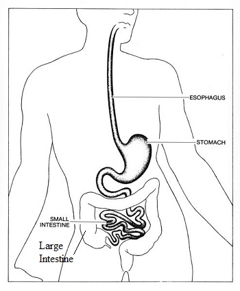 350x424 Large Intestine Lesson For Kids Function Amp Facts