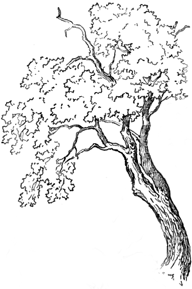 380x571 Coloring Pages Fascinating Oak Tree Line Drawing Finished How