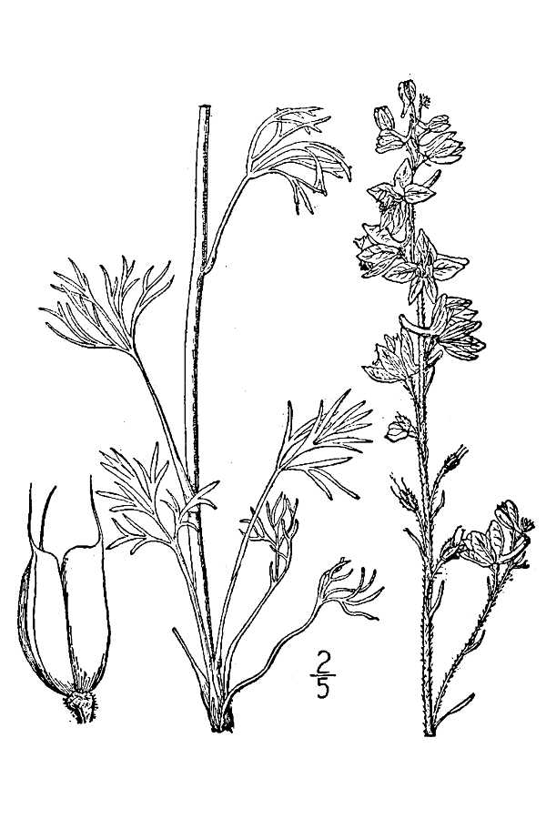 600x900 Large Image For Delphinium Carolinianum (Carolina Larkspur) Usda