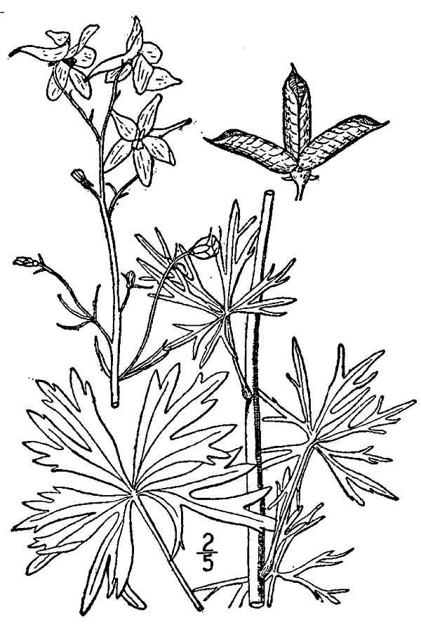 600x900 Large Image For Delphinium Tricorne (Dwarf Larkspur) Usda Plants