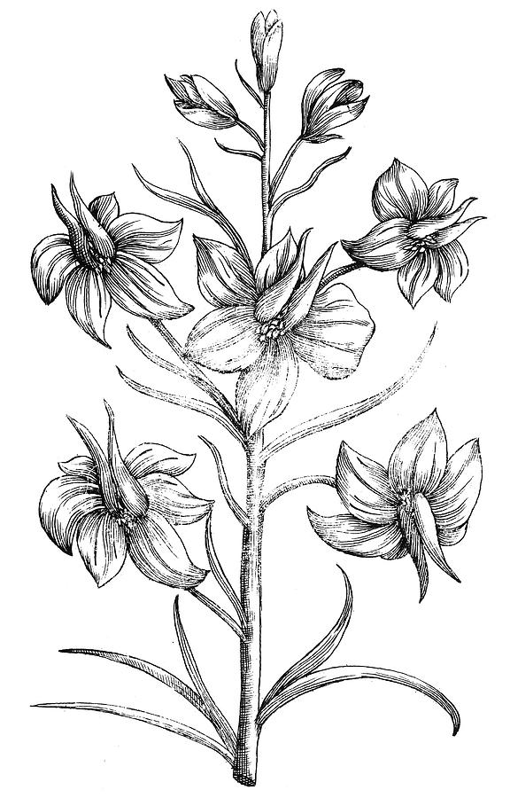 576x900 Black And White Drawing Larkspur Flower
