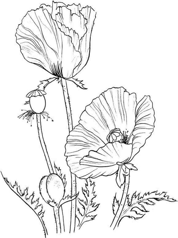 750x1000 Poppy Flower Coloring Pages Download And Print