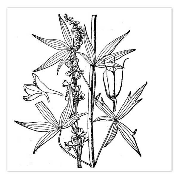 600x600 Delphinium Exaltatum, Larkspur Sugar Creek Gardens Plant Nursery