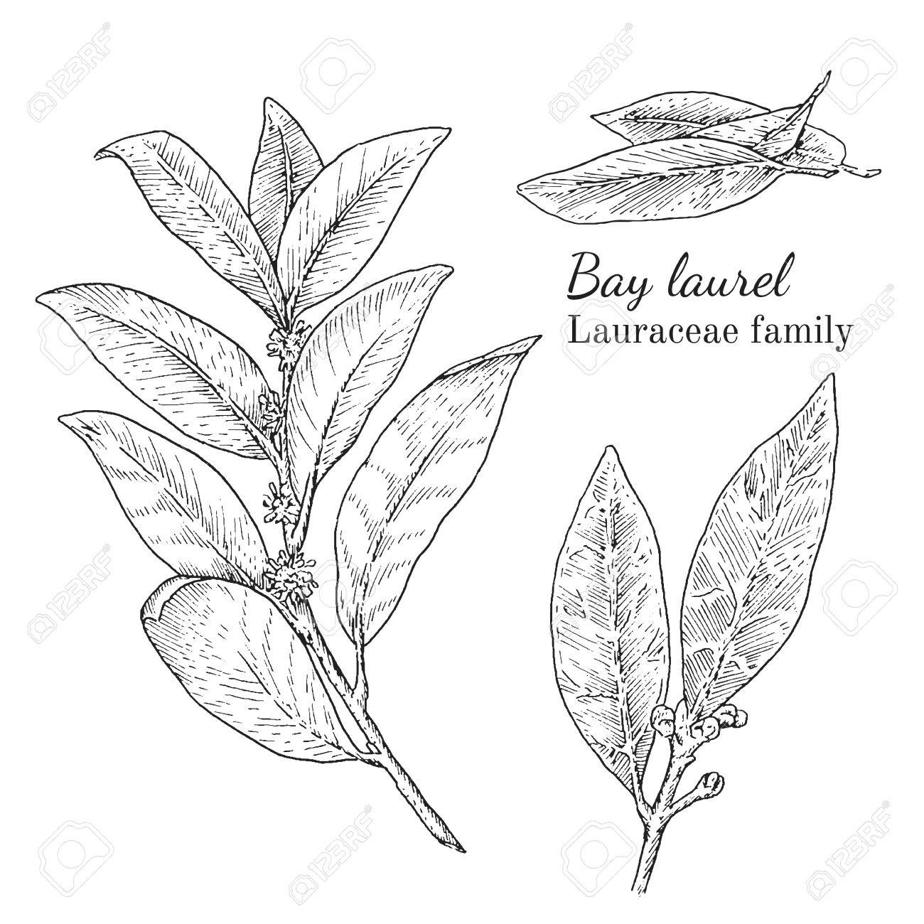 1300x1300 Ink Bay Laurel Herbal Illustration. Hand Drawn Botanical Sketch