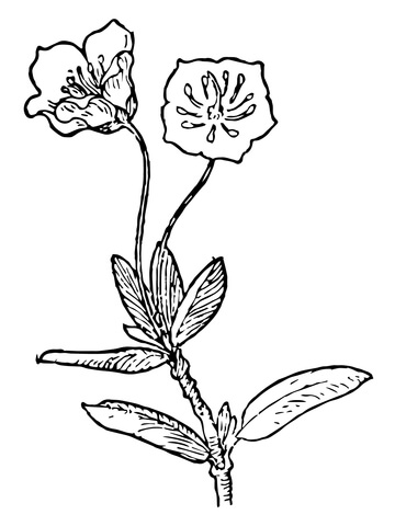 360x480 Kalmia Microphylla Or Swamp Laurel Coloring Page Free Printable