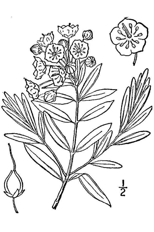 600x900 200405 Bog Laurel (Kalmia Polifolia)