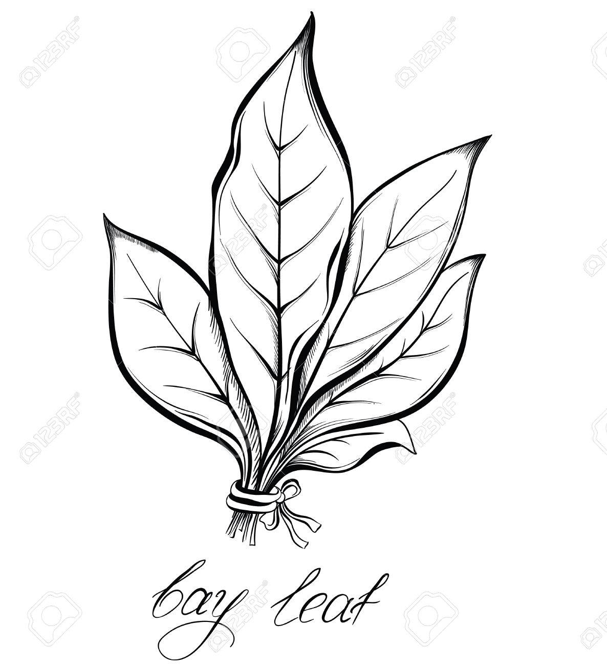 1186x1300 Kitchen Herbs And Spices. Bay Laurel Leaf. Hand Drawn Vector