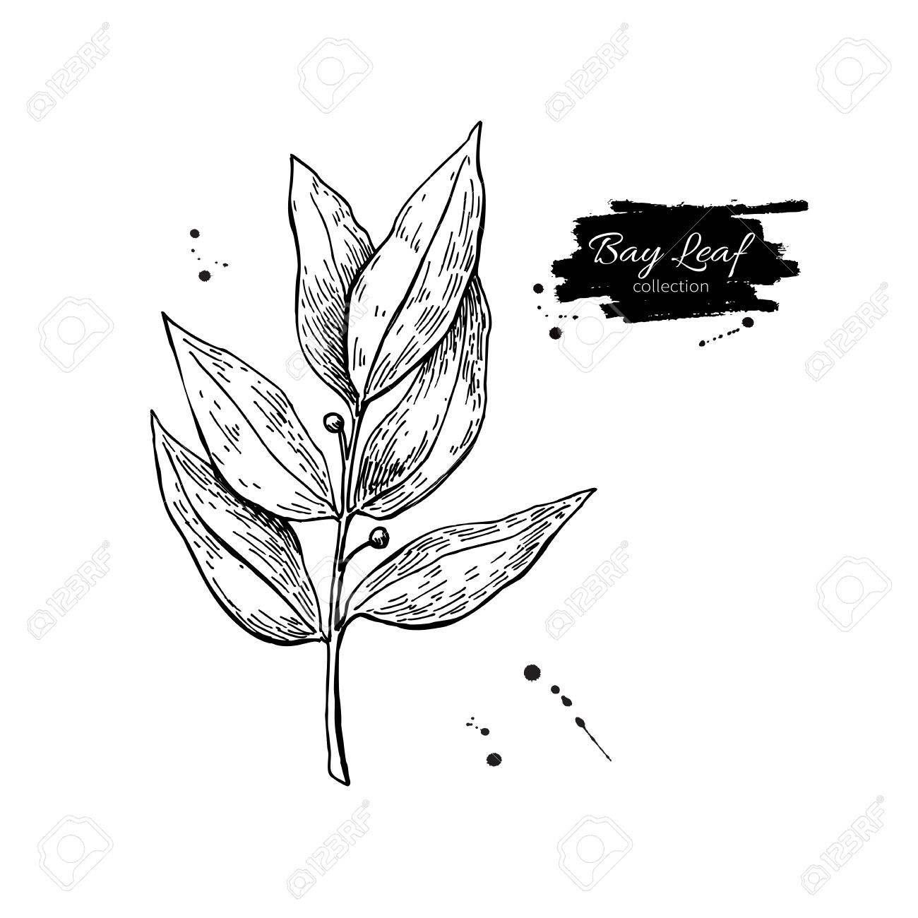 1300x1300 Bay Leaf Vector Hand Drawn Illustration. Isolated Spice Object