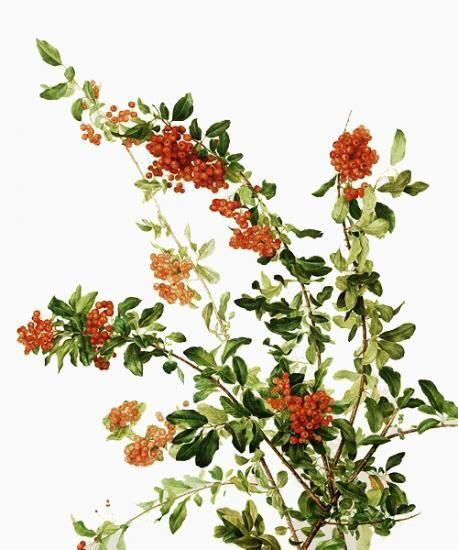458x550 72 Best Botanical Illustration Images On Botanical