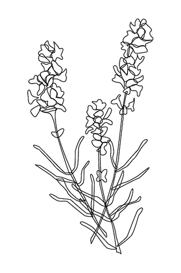 600x901 Awesome Lavender Flower Coloring Pages Awesome Lavender Flower
