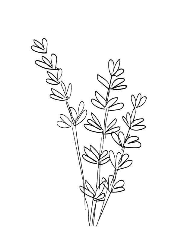 600x804 Drawing Lavender Flower Coloring Pages