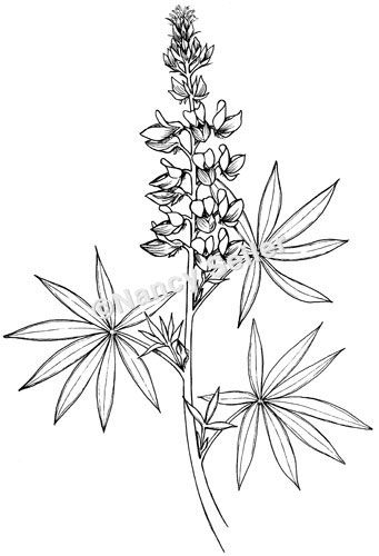 341x500 12 Best Botanical Drawings Images On Botanical