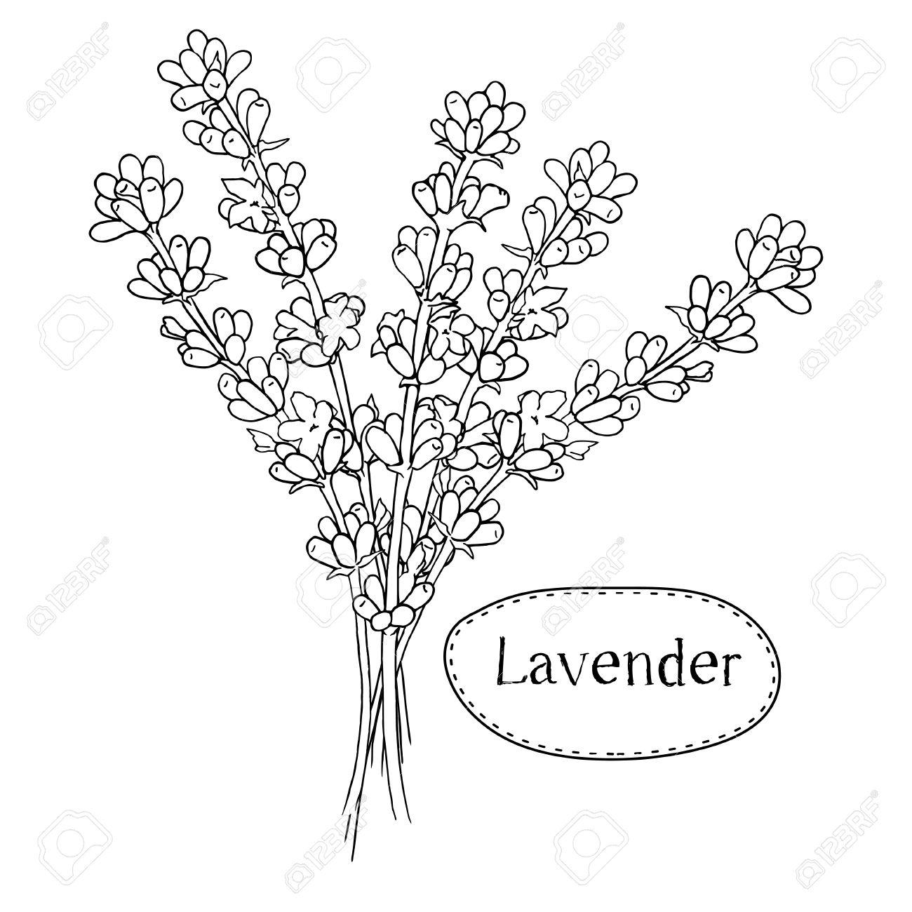 1300x1300 Hand Drawn Lavender. Organic Healing Wild Flowers. Vector