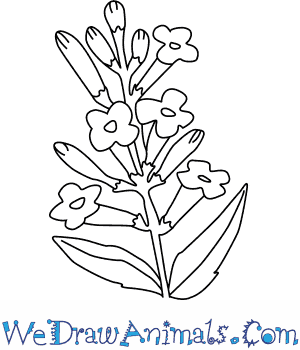300x350 How To Draw A Lavender Flower