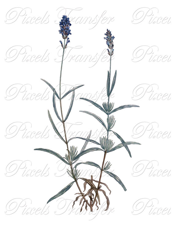 570x738 Lavender, Purple Blue Provence Autumn, Instant Download, Jpg