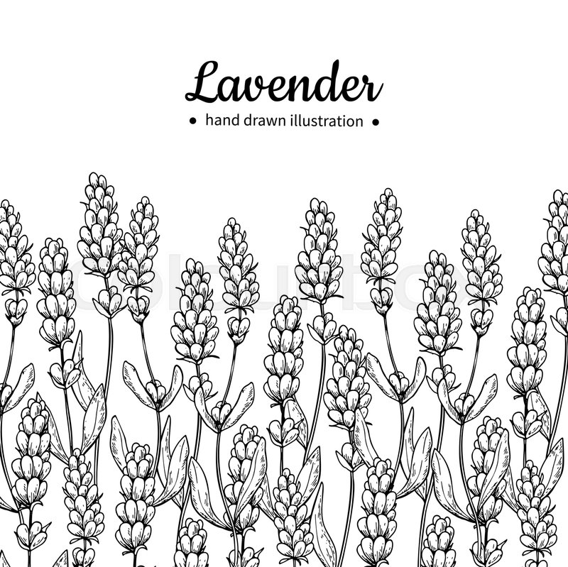 800x799 Lavender Vector Drawing Border. Isolated Wild Flower And Leaves