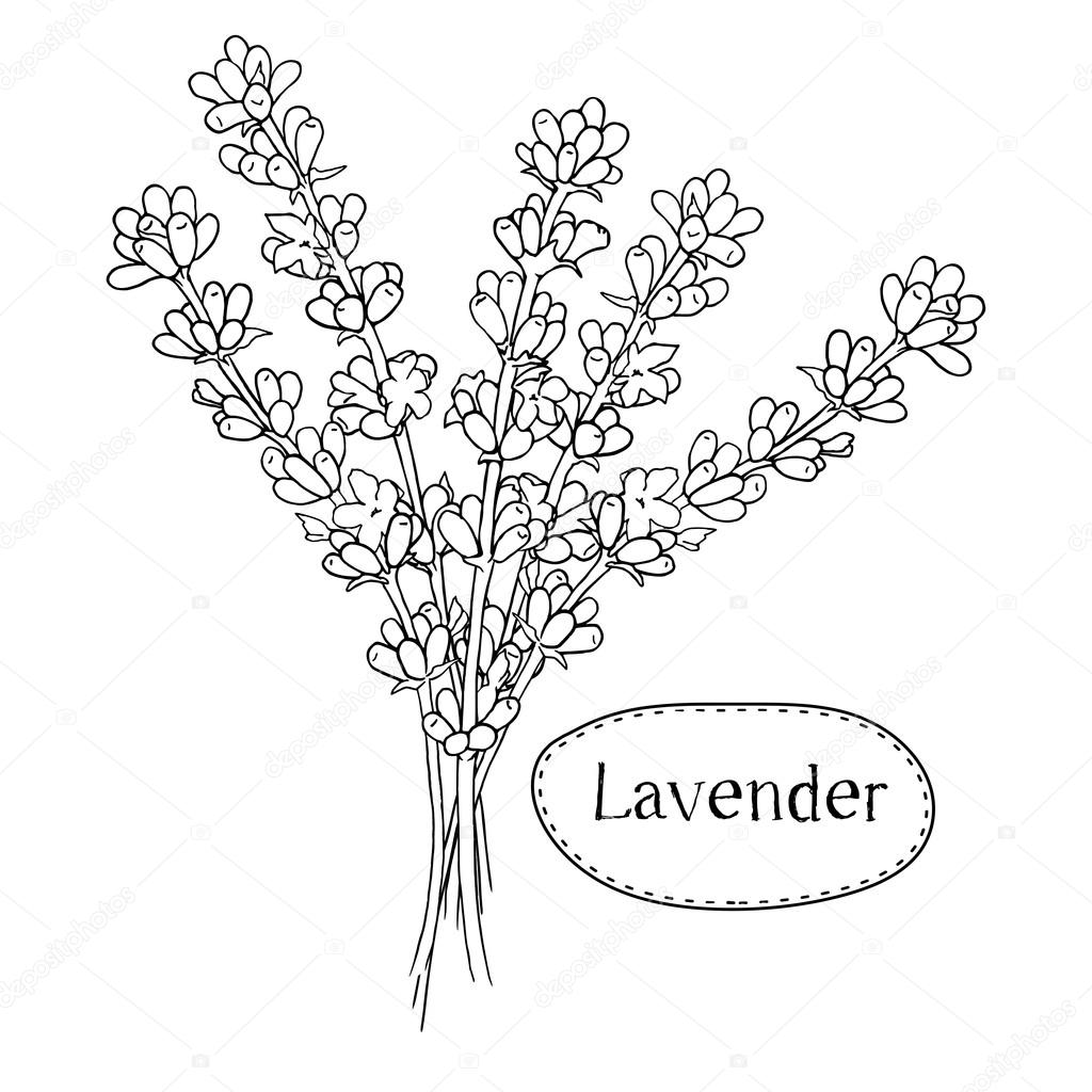 1024x1024 Hand Drawn Lavender. Organic Healing Wild Flowers. Vector