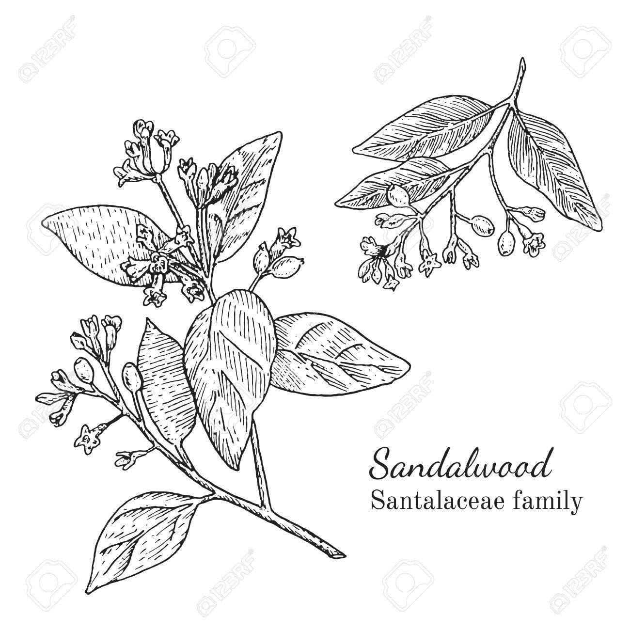 1300x1300 Ink Sandalwood Herbal Illustration. Hand Drawn Botanical Sketch