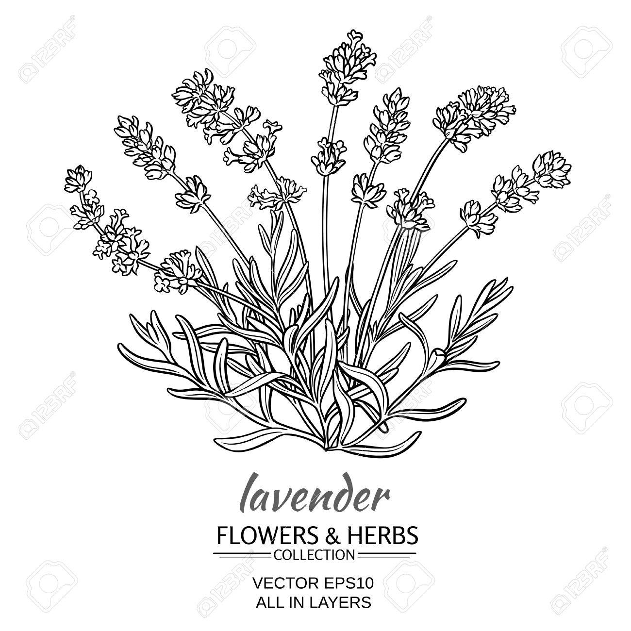 1300x1300 Lavender Flowers On White Background Royalty Free Cliparts