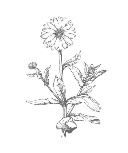 542x650 Calendula Drawing