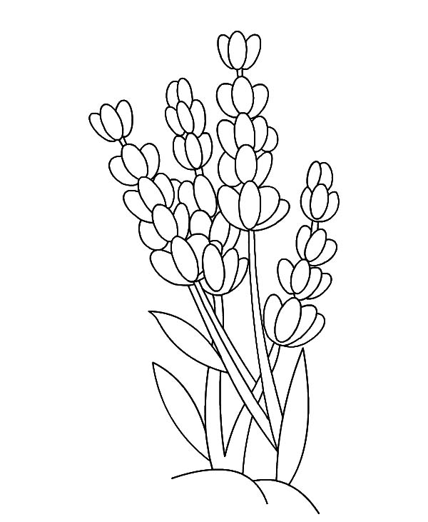600x731 Lavender Flower Outline Coloring Pages