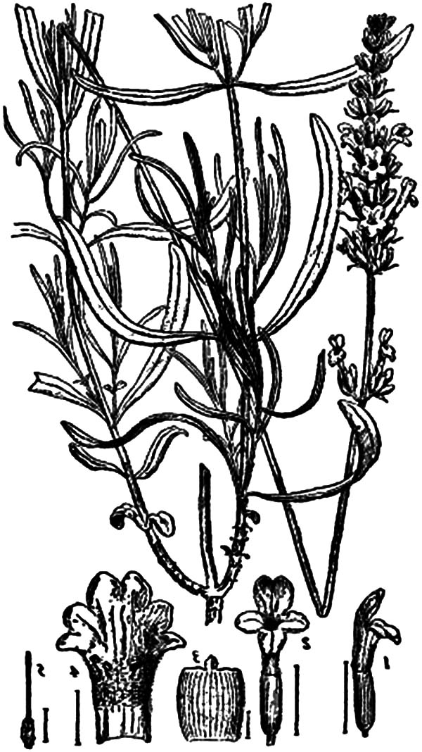 600x1068 Lavender Flower Anatomy Coloring Pages