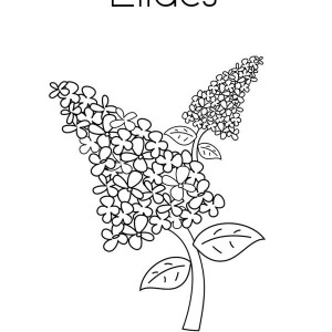 300x300 Lilac And Lavender Coloring Page Syringa